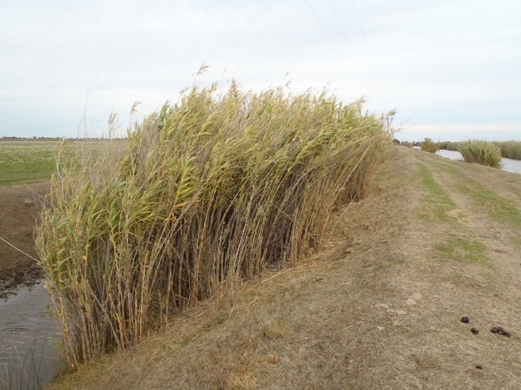 Invasive Giant Reed Arundo donax